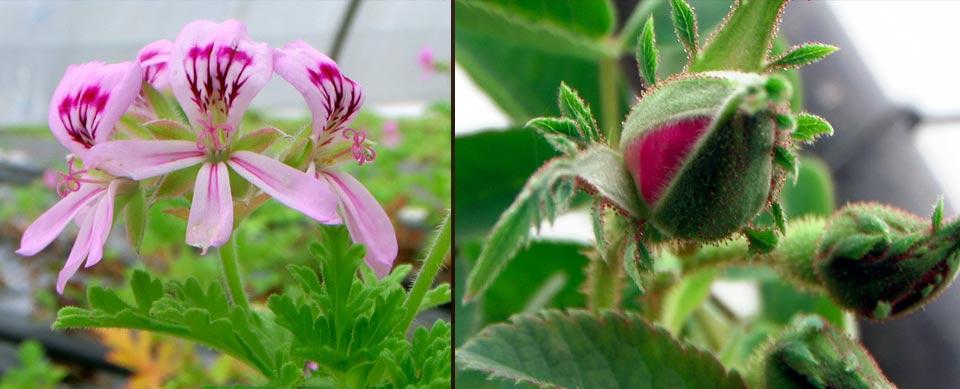 plantes pour hydrolats