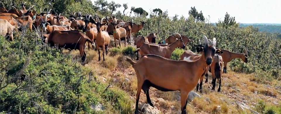 chèvres en plein air