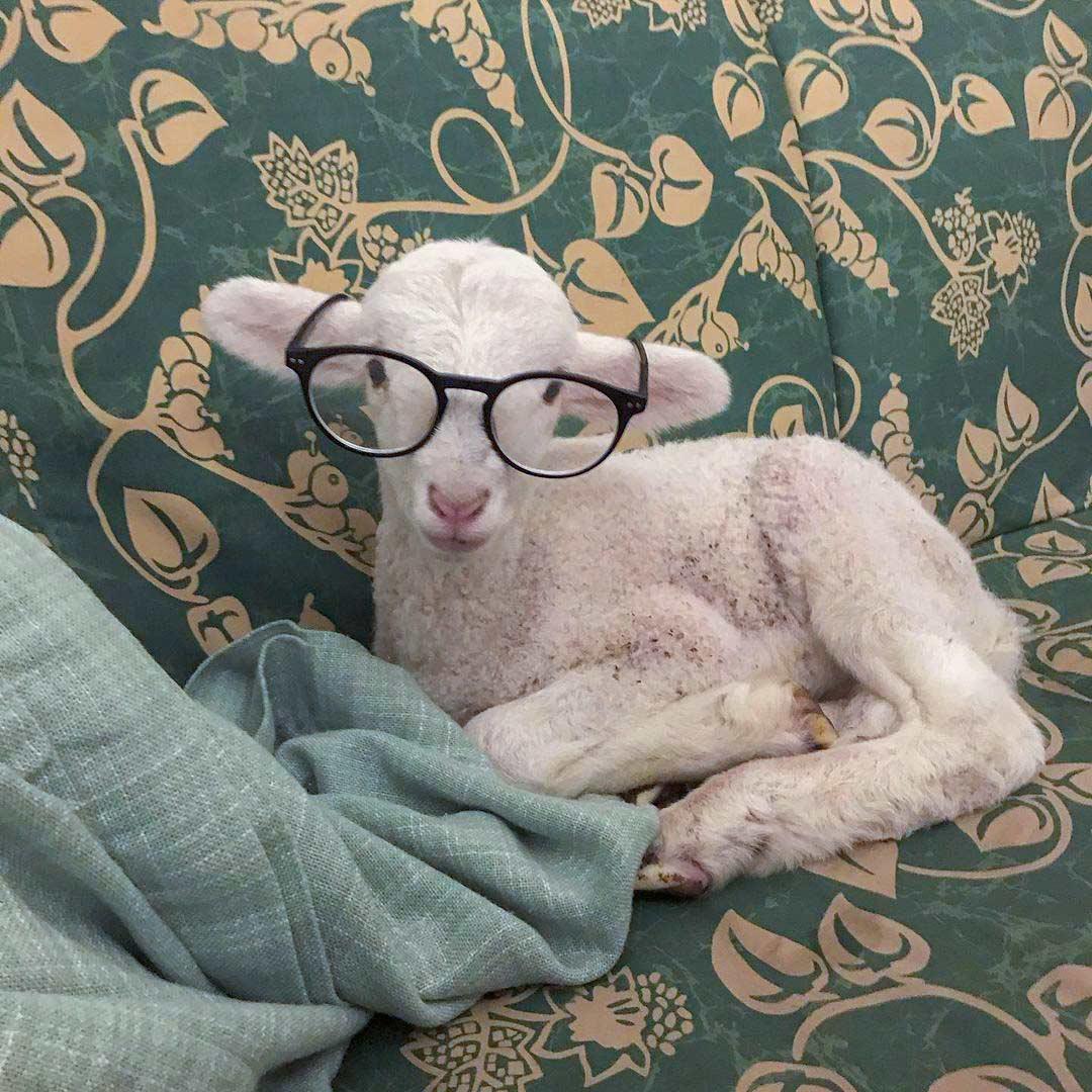 mouton local