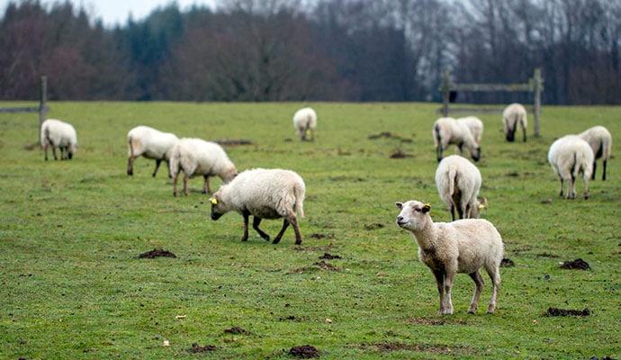 mouton race lacaune